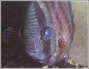 Discus fish eye disease photo 1 symphysondon discus for Fishing eye syndrome